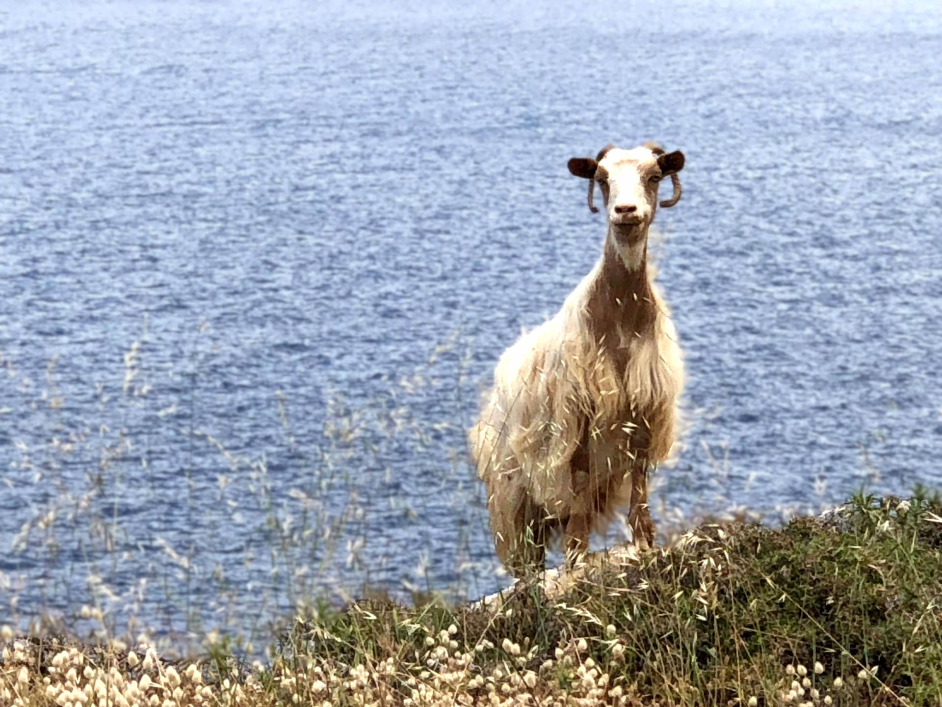 Curious goat on walking vacation in Greece FAQ ask us