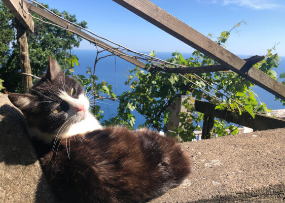 cat on wall with grape trellis overlooking italy walking path of the gods italy